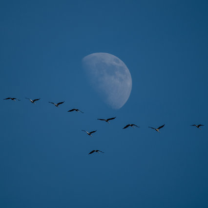 Kraniche vorm Mond